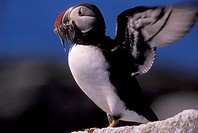 Atlantic Puffin holding fish in its mouth and flapping wings, Fratercula arctica, Machias Seal Island, Bay of Fundy, New Brunswick, Canada