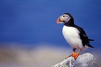 Atlantic Puffin, Fratercula arctica, Machias Seal Island, Bay of Fundy, New Brunswick, Canada