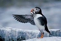 Atlantic Puffin holding fish in its mouth, Fratercula arctica, Machias Seal Island, Bay of Fundy, New Brunswick, Canada
