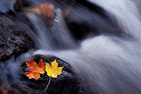Waterfalls and maple leaves in autumn, Gatineau Park, Quebec, Canada