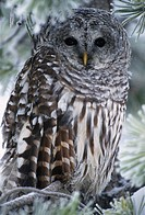 Portrait of Barred Owl, Strix varia, in frosty winter pine, Saskatchewan, Canada