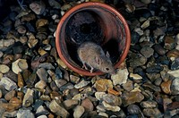 House Mouse in garden flower pot