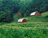 Tobacco field and a pair of red barns near Taylorsville, North Carolina, USA.