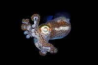 Bobtail Squid Euprymna berryi Indonesia.