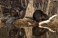 Beavers Castor canadensis on edge of pond feeding and grooming, Ontario, Canada