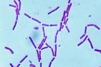 Bacteria Bacillus coagulans. LM.
