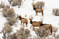 Elk Cervus elaphus foraging in sagebrush habitat with fresh snow
