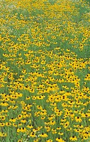 Field of Black_eyed Susans ,Rudbeckia hirta, USA.