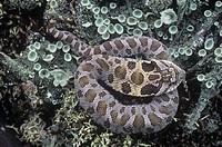 Eastern Hognose Snake Heterodon platyrhinos, Ohio, USA.