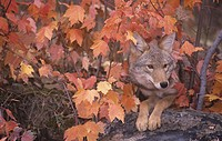 Coyote hunting from a sheltered site among fall leaves Canis latrans, North America.