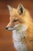 An alert Red Fox face Vulpes vulpes, Matmai National Park, Alaska, USA.