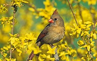 A female Northern Cardinal Cardinalis cardinalis in flowering Forsythia in early spring, Eastern North America.