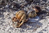 semi_terrestrial hermit crabs _ Galapagos