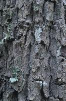 Sand Live Oak bark ,Quercus geminata, Eastern USA.