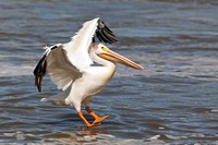 American White Pelican landing on the Red River. Lockport, Manitoba, Canada.