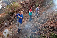 Volunteers clearing rhododendron, invasive species threatening to overwhelm native flora, Lundy, Bristol Channel, Devon, England, january