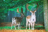 Two fallow deer in beechwood forest in Southern Sweden