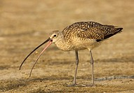 Long_billed Curlew ,Numenius americanus, with a crab in its beak, North America.