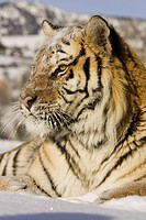 A Siberian Tiger sitting in snow ,Panthera tigris altaica, an endangered species, Russia and Northern Asia.