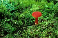 Tiny, 1.5 cm tall, red mushroom growing among mosses on the forest floor, Ontario, Canada.