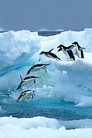 A group of Adelie penguins Pygoscelis adeliae leaving their nesting colony on a foraging trip. Antarctic Peninsula.