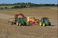 Farming _ Harvesting potatoes, Norfolk, England, september