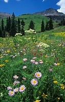 Alpine meadow with Asters ,Aster, Orange Sneezeweed ,Helenium hoopesii, and Cow Parsnip ,Heracleum, Mount Sneffels Wilderness, Rocky Mountains, Colora...