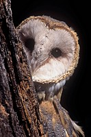 Barn Owl face peering from behind a tree trunk ,Tyto alba, a threatened species, North America.