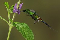 Green Thorntail Popelairia langsdorffi feeding at a flower while flying in the Milpe reserve in northwest Ecuador.