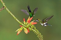 Green Thorntail Popelairia langsdorffi feeding at a flower while flying at Bueneventura Lodge in southwest Ecuador.