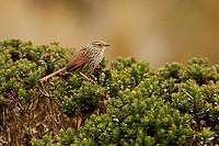 Many_striped Canastero Asthenes flammulata perched on paramo vegetation in the highlands of Ecuador.