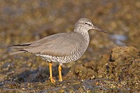Wandering Tattler Heteroscelus incanus perched on a rock near the coast of Ecuador.