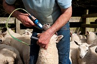 Sheep farming, farmer giving lambs worm drench, for protection against parasites, Kendal, Cumbria, England