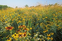 Black_eyed Susans ,Rudbeckia hirta, Gloriosa Daisies ,Rudbeckia gloriosa, and other plants in a meadow, Eastern USA.