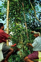 Pepper Piper nigrum men plucking stalks from spice plant, Southern India