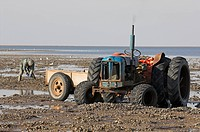 Mussel fisherman collecting from managed mussel beds at low tide, tractor and trailer, The Wash, Norfolk, England, march
