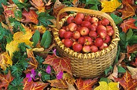Basket of harvested Columbia Crabapples among fall leaves Malus sp.