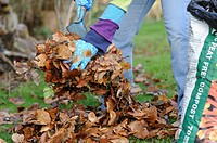 Gardener raking and putting leaves into plastic sack, to make leaf mould compost, England, december