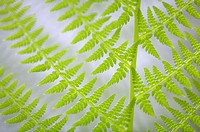 Close_up of a fern leaves