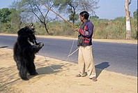 Dancing bear, Sloth Bear Melursus ursinus with owner, India