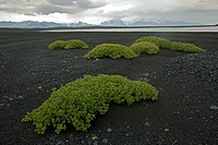 Plants growing in a lava field