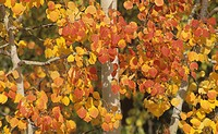Quaking Aspens in the fall Populus tremuloides, North America.