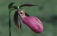 Pink Lady Slipper ,Cypripedium acaule, Orchidaceae, North America.