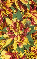 Joseph´s Coat variegated leaves Amaranthus tricolor.