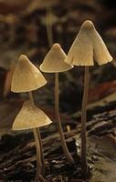 Dunce Cap Mushroom ,Conocybe tenera, Basidiomycota, North America.