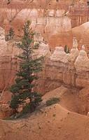 Douglas Fir ,Pseudotsuga menziesii, Bryce Canyon National Park, Utah, USA.