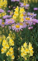 Meadow with Smooth Aster ,Aster laevis geyeri, and Butter_and_Eggs ,Linaria vulgaris, Colorado, USA.