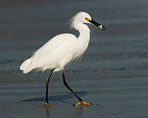Snowy Egret walking on beach Egretta thula, USA.