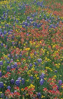 Meadow of Texas Bluebonnets, Texas Paintbrush, and Low Bladderpod flowers, Hill Country, Texas, USA.