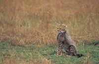 Cheetah cub Acinonyx jubatus, East Africa.